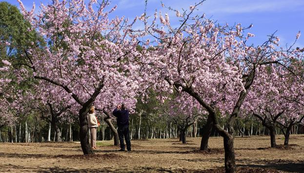 Almendros en flor. Quinta de Los Molinos