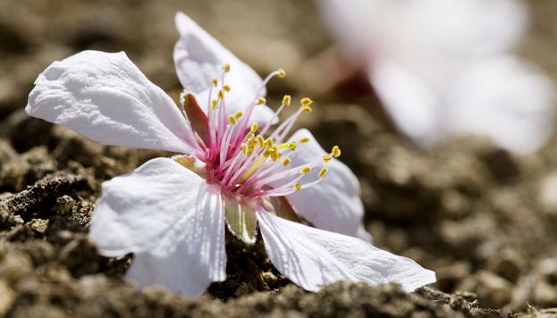 Flor del almendro. Quinta de Los Molinos