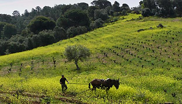 En la bodega Bernabeleva cuentan con una finca de viñedo viejo de la que salen excelentes vinos.